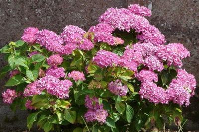 Quand tailler les hortensias journal des femmes jardin - Quand planter des hortensias ...