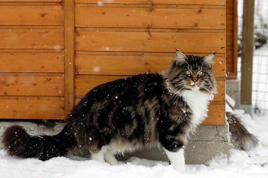 plus-grand-chat-domestique-250243