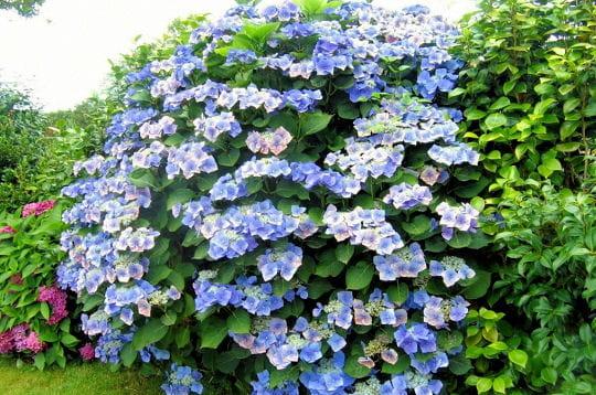 Pour imiter le bleu du ciel massifs et parterres floraux - Terre pour hortensia bleu ...