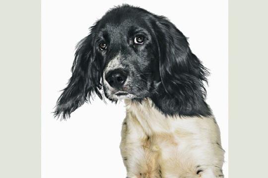 La vivacité de l'épagneul breton : Portraits de chiens