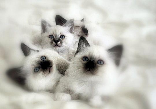 Sacr de birmanie les 50 plus beaux chatons en famille - Solution pour eloigner les chats du jardin ...
