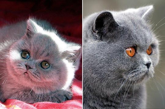 le british shorthair bleu chats et chatons de race journal des femmes jardin. Black Bedroom Furniture Sets. Home Design Ideas