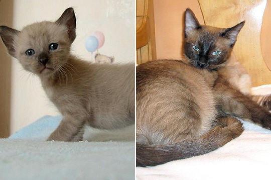 Le tonkinois chats et chatons de race journal des femmes jardin - Chaton tonkinois ...