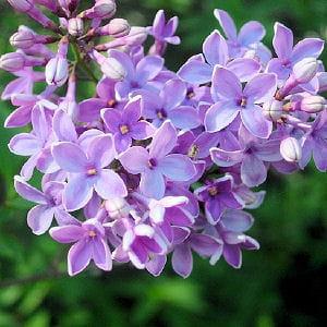 15 plantes parfum es pour embaumer le jardin for Plantes fleuries pour jardin