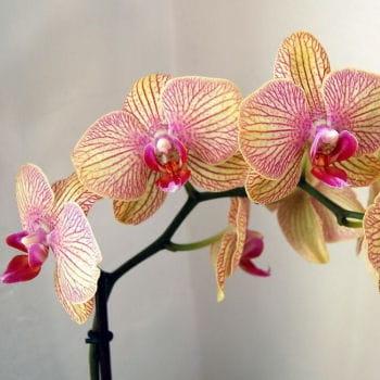 fragile mais somptueuse, le phalaenopsis apportera une touche fleurie à votre