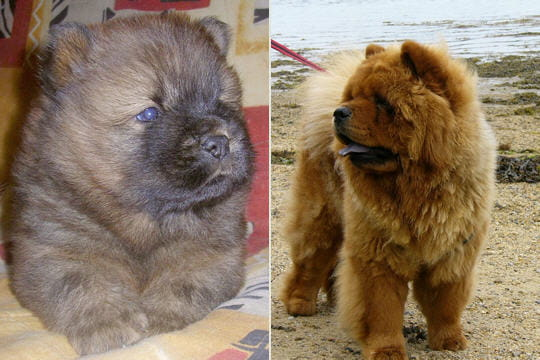 Le Chow Chow