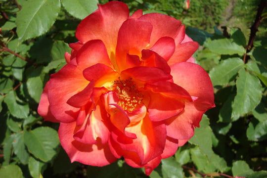 une rose qui a du panache des roses plus belles les unes que les autres journal des femmes. Black Bedroom Furniture Sets. Home Design Ideas