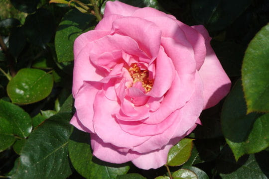 Rose de Rennes