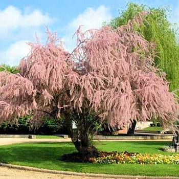 Alphabet des fleurs arbres plantes l gumes etc for Arbres decoratifs jardin