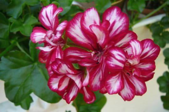 top tendance ces g raniums le jardin tr s fleuri de jacqueline journal des femmes. Black Bedroom Furniture Sets. Home Design Ideas