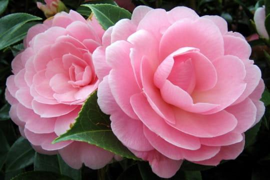 pulpeux cam lia vos plus belles photos de fleurs journal des femmes. Black Bedroom Furniture Sets. Home Design Ideas