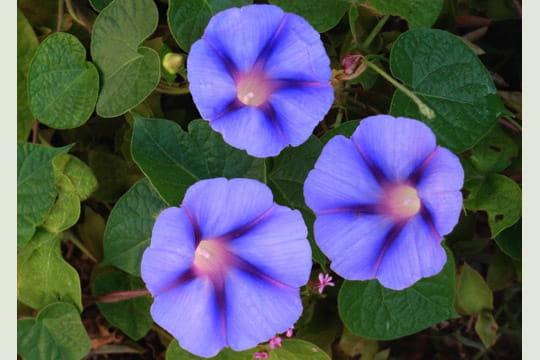 Photos de fleurs l exubérant volubilis journal des femmes jardin