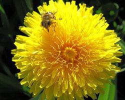 pissenlit et abeille