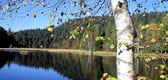 bouleau en bordure de lac