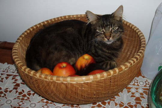 Un chat dans un panier de fruits