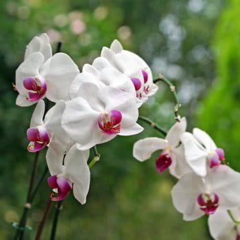les orchid es phalaenopsis des fleurs faciles faire pousser journal des femmes. Black Bedroom Furniture Sets. Home Design Ideas