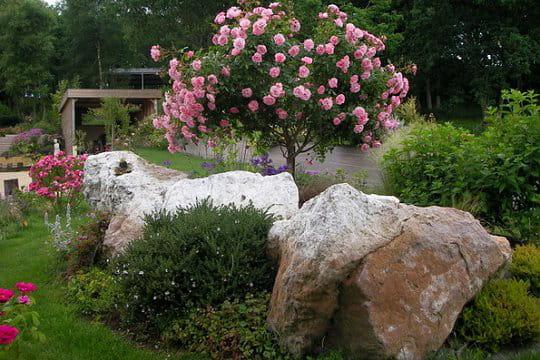 un magnifique rosier tige bonica le jardin de danyland journal des femmes. Black Bedroom Furniture Sets. Home Design Ideas