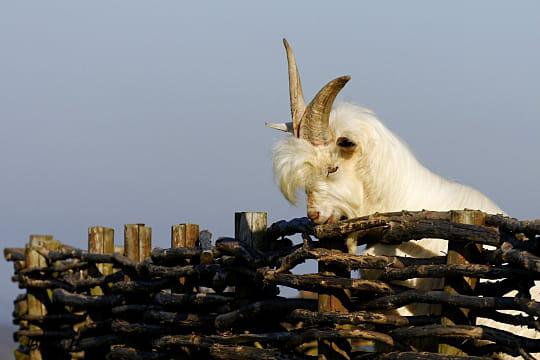 Une chèvre à la houppe