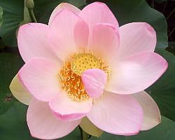 toutes les parties du lotus sont consommables.