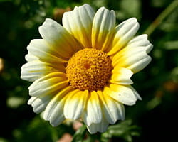 le chrysanthème à couronne est comestible.