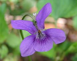 il peut être difficile de différencier les violettes, mais la plupart sont