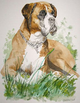 Un boxer tr s attentif les animaux en peinture et en dessin journal des femmes - Dessin chien boxer ...