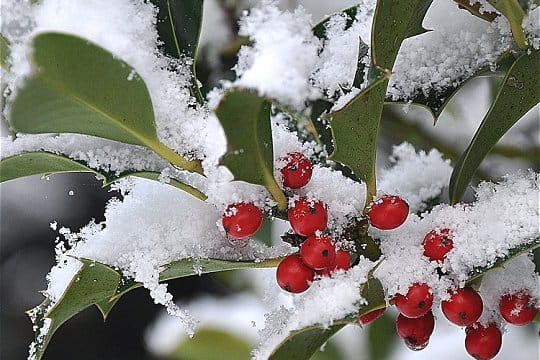 http://i-cms.journaldesfemmes.com/image_cms/original/729857-le-houx-sous-la-neige.jpg