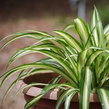 le chlorophytum comosum est un peu moins efficace que l'elatum, mais plus joli.