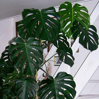 un philodendron monstera peut facilement atteindre 2 m de hauteur.