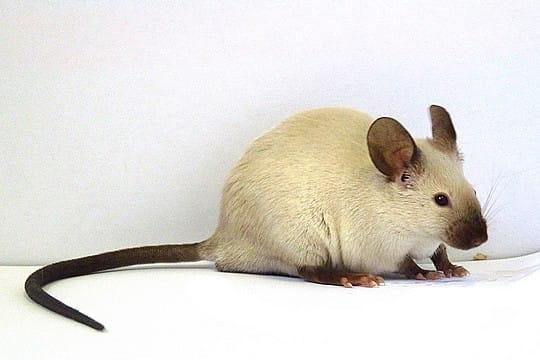 zibaloo rat ratte raton souris souriceau. Black Bedroom Furniture Sets. Home Design Ideas
