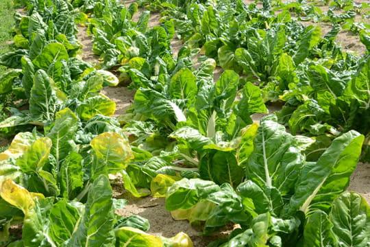 Les blettes des c tes aux feuilles visite du jardin du chef jean charles baron journal des - Cuisiner les feuilles de blettes ...